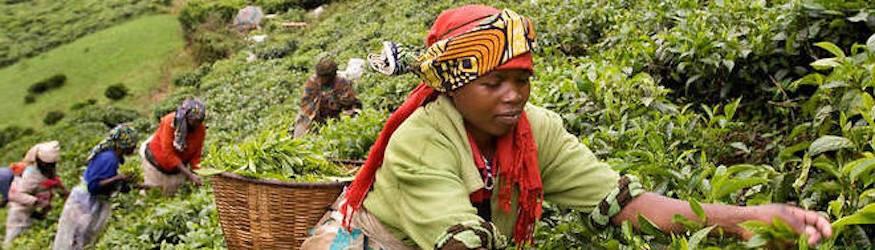 Thés d'Afrique